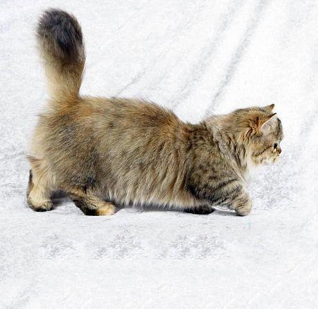 Порода кішок наполеон