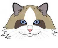Порода кішок Рагамаффін. морда