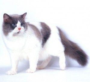 Порода кішок рагамаффін