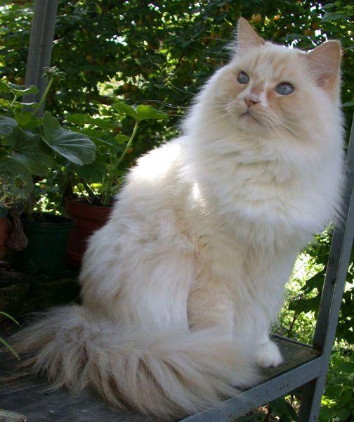 Кішка породи рагамаффін