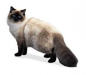 Порода кішок регдолли
