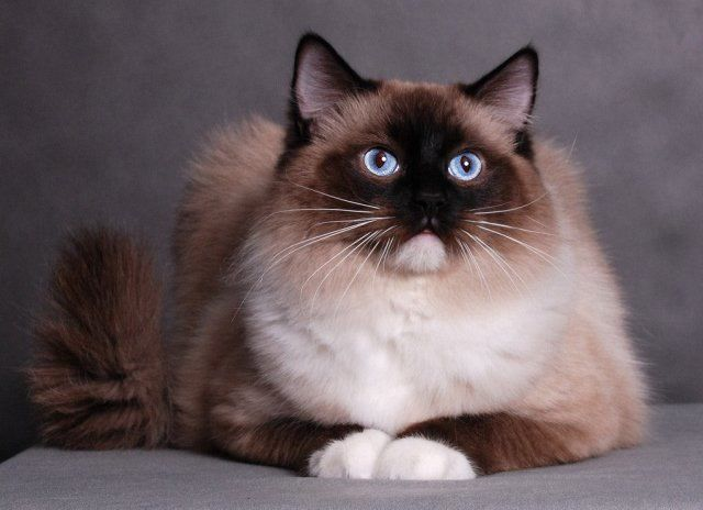 Регдолл порода кішок