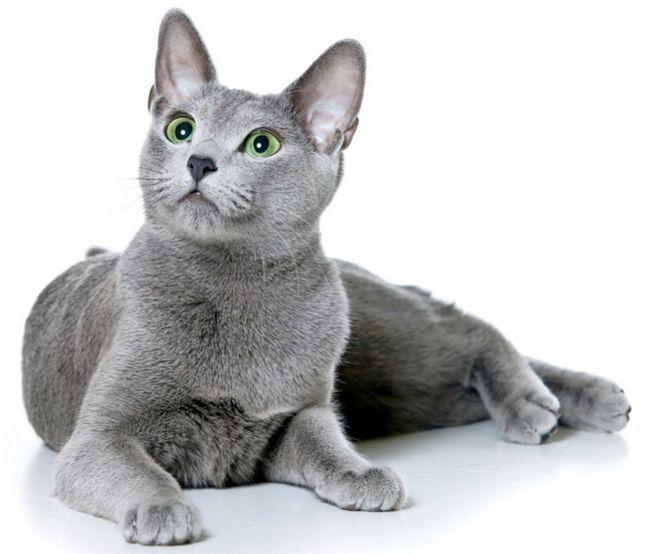 Порода кішок російська блакитна