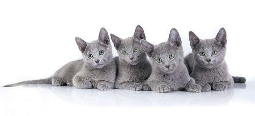 Кошенята російські блакитні