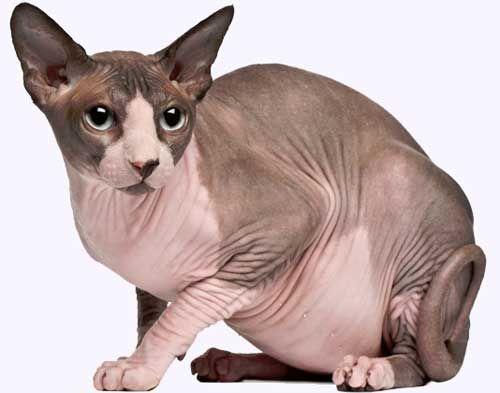 Порода кішок сфінкс.
