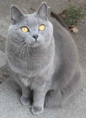 Порода кішок шартрез (картезіанська, chartreux).