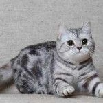 Порода кішок скоттиш