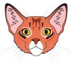 Кішка породи Сомалі. морда
