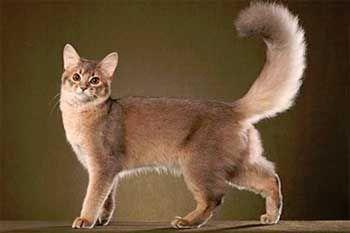 Кішка породи Сомалі