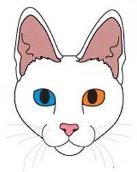 Порода кішок турецька ангора. Стандарт породи і критерії оцінки.