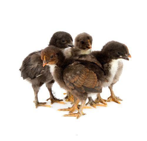 курчата Мрани