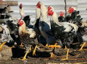 Порода народної селекції - знайомимося з юрловской голосистій курочкою
