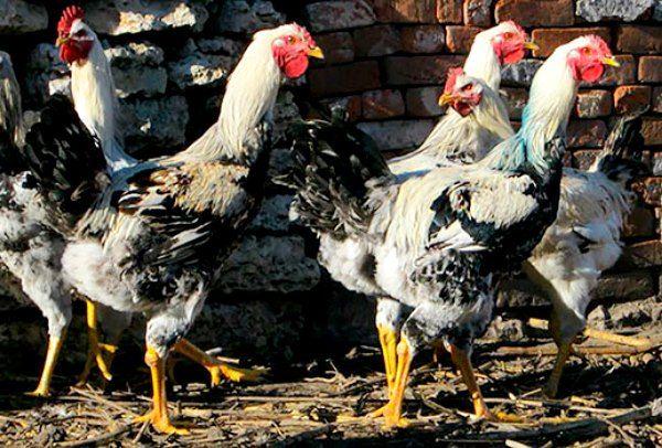 Юрловскіе голосисті пташки на вулиці