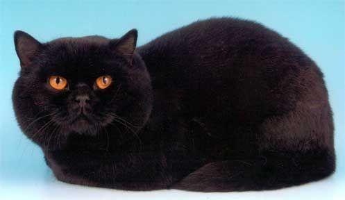 Чорний британський кіт