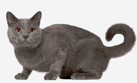 Шартрез порода кішок