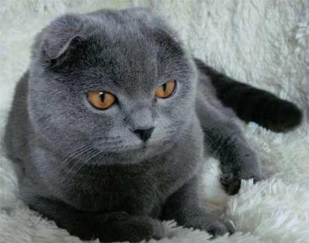 Шотландська висловуха порода кішок