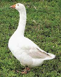 Породи гусей