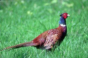 Породи і види фазанів.