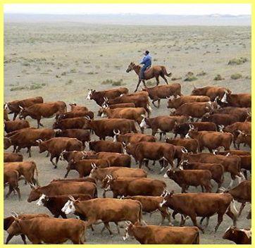 Коломацький худобу фото