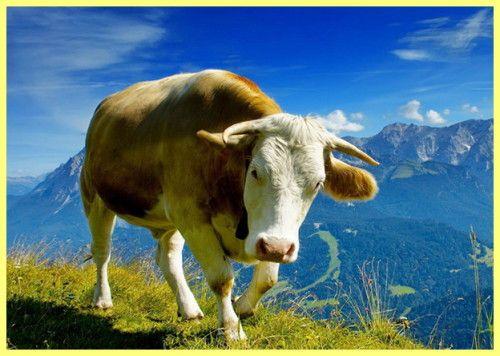 киргизький худобу фото
