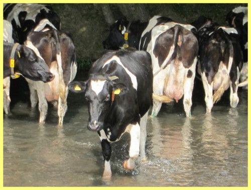 Корова голландка фото