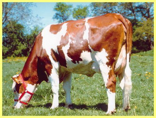 Червона датська порода корів фото