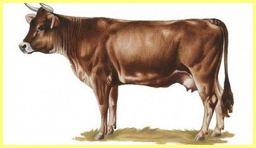 Бурий гірський бик фото