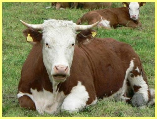 білоруський бик