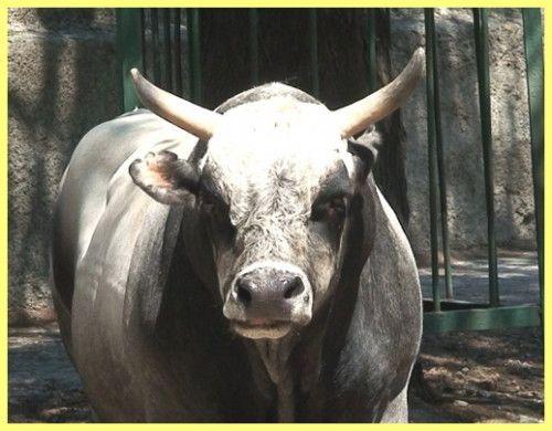 Сірий український бик