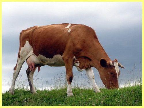 Червоно - німецький худобу