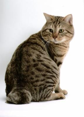 Породи кішок без хвоста