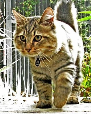Кішки без хвоста