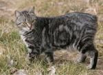 Фото кішки без хвоста