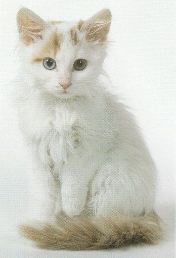 Фото 4 Породи кішок
