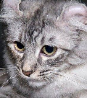 Фото 5 Породи кішок