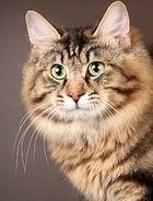 Фото 6 Породи кішок