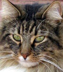 Фото 8 Породи кішок
