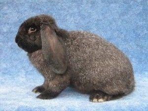 Породи кролів для домашнього розведення: фото і опис