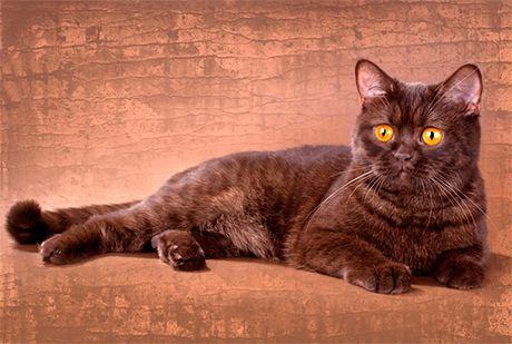 Британська шоколадна кішка