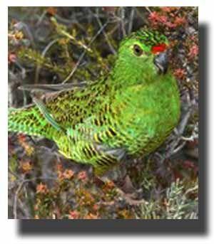 Земляний папуга (pezoporus)