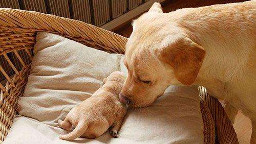 Післяпологових гіпокальціємія у собаки