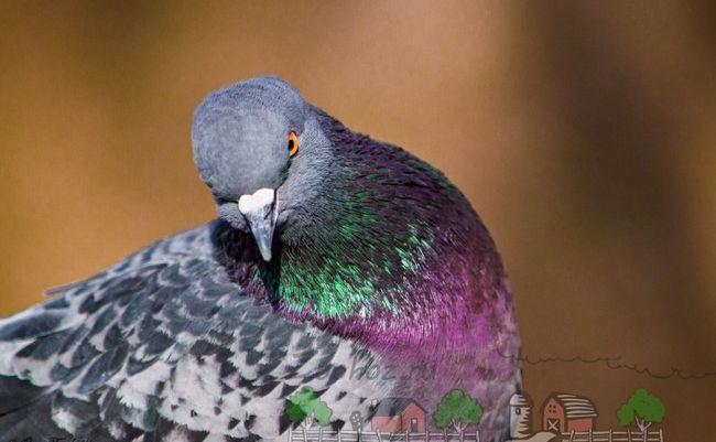 Постійний супутник міських жителів - сизий голуб