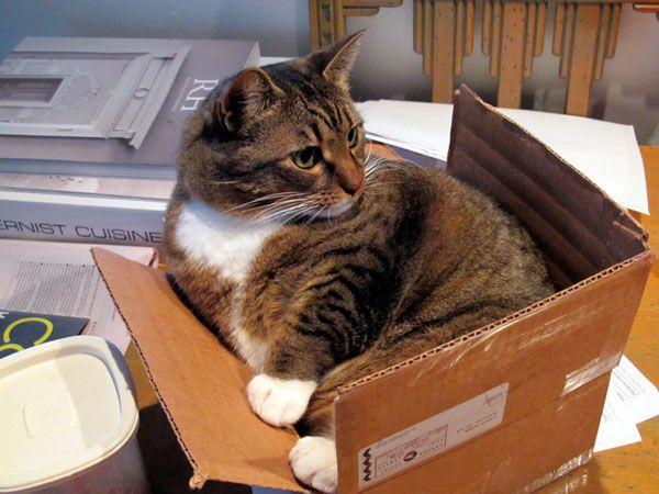 Звички і звички: чому кішки люблять картонні коробки