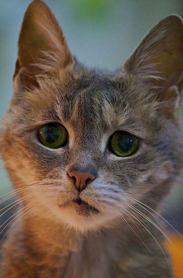 Токсоплазмоз - захворювання небезпечне для всіх порід кішок, в тому числі і мейн-кунів
