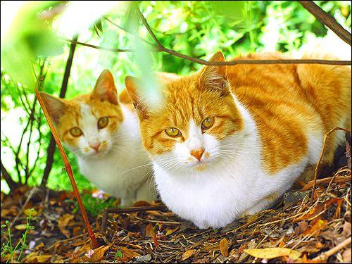 Дві рудо-білі кішки на природі. Фото, фотографія картинка