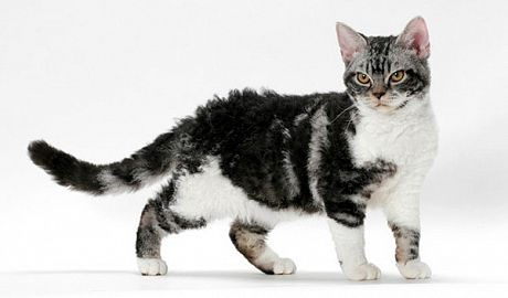 Правила купання та догляду за шерстю американської жесткошерстной кішки