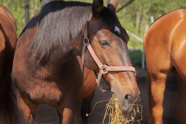 Правила збалансованого годування коней