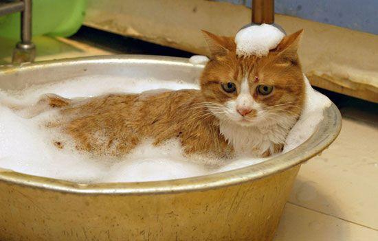 Правильний догляд за шерстю кішок