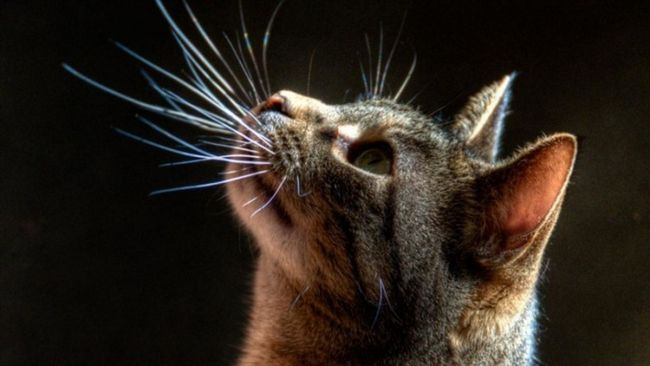 Голова кішки з вусами крупним планом