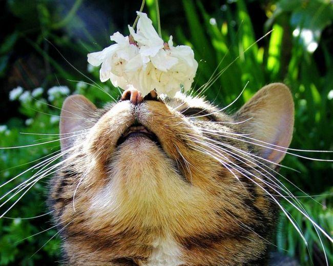 Кішка обнюхує квітка